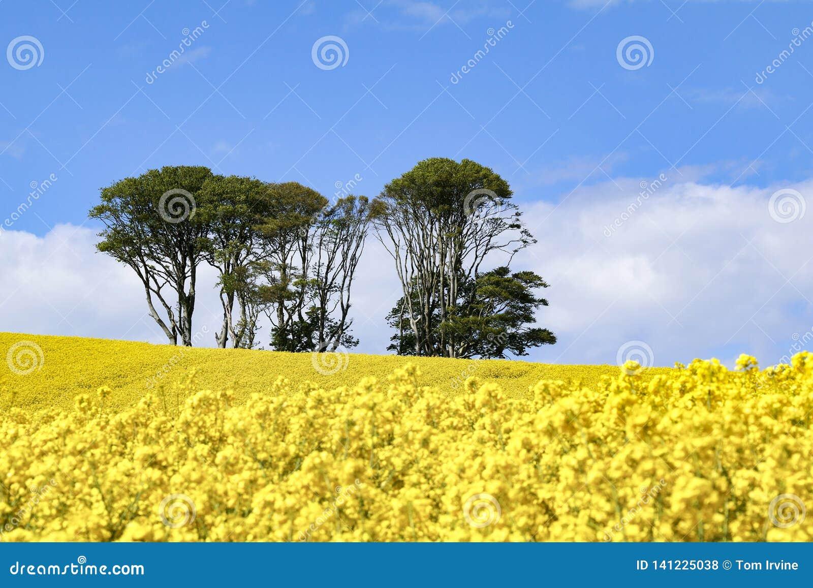 Mała kępa drzewa w polu jaskrawi żółci kwiaty Rapeseed Brassica napus