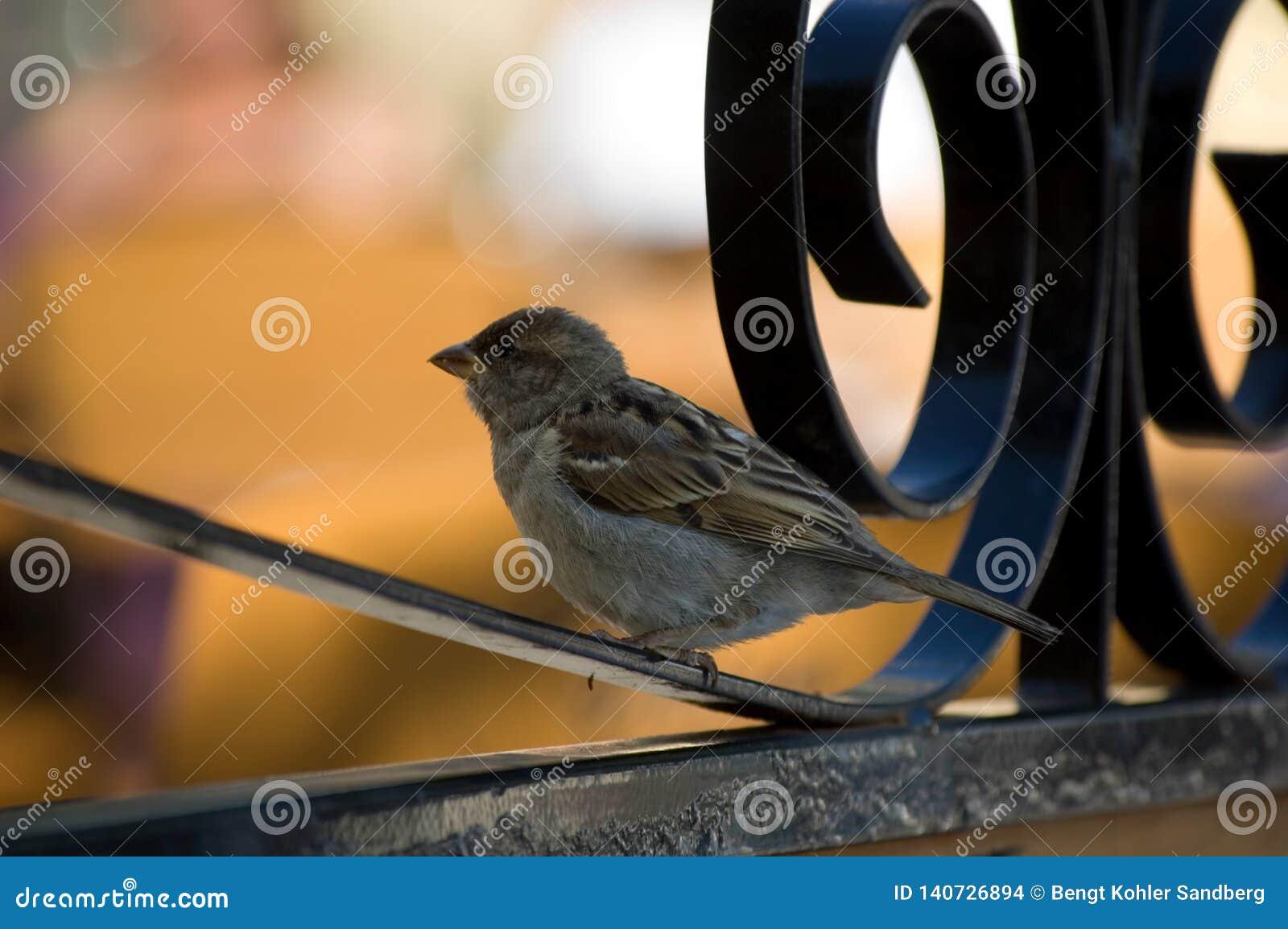 Mały ptasi obsiadanie na ogrodzeniu