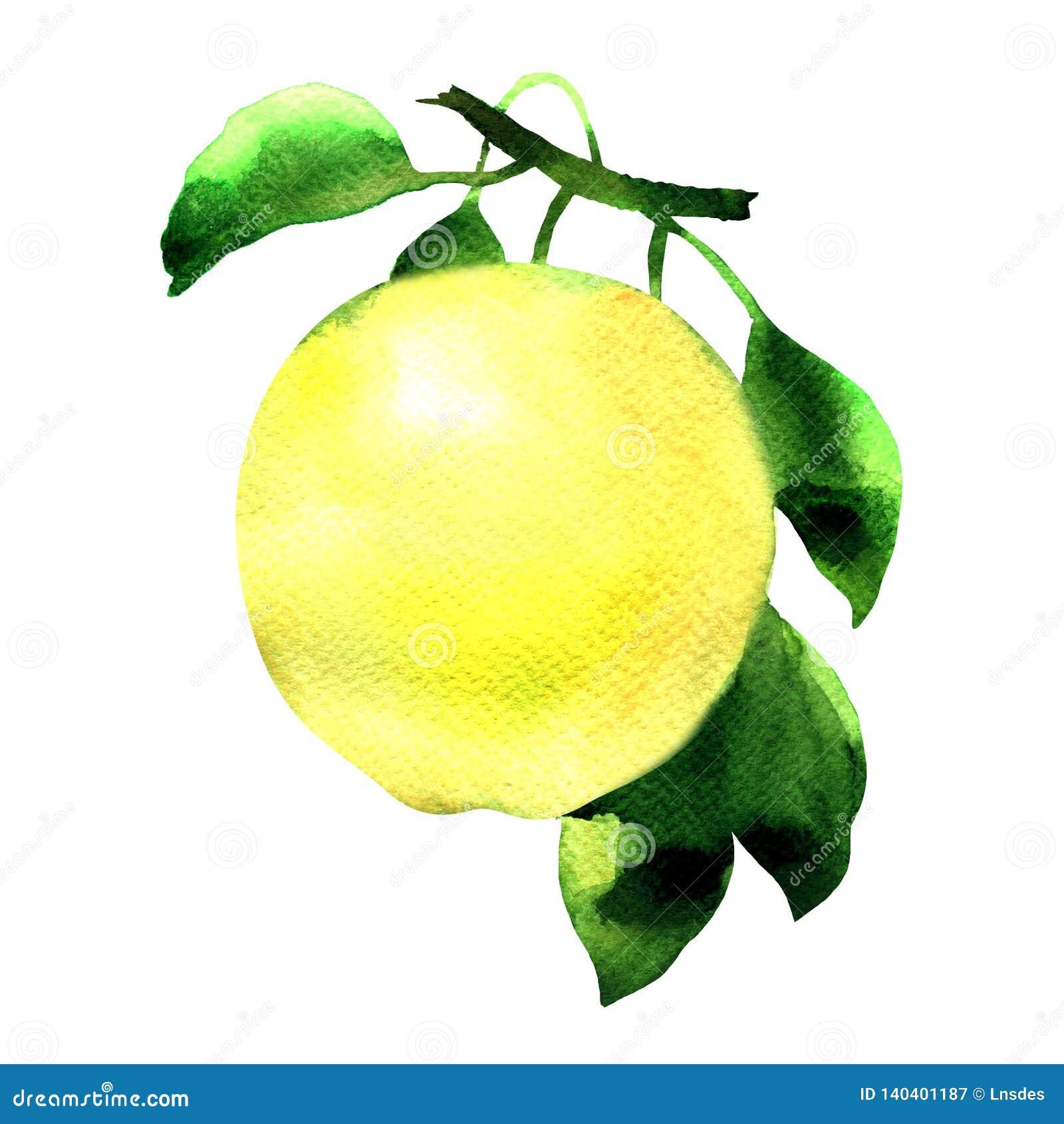 Maçã amarela madura em um ramo com folhas verdes, fruto fresco suculento isolado, ilustração tirada mão da aquarela no branco