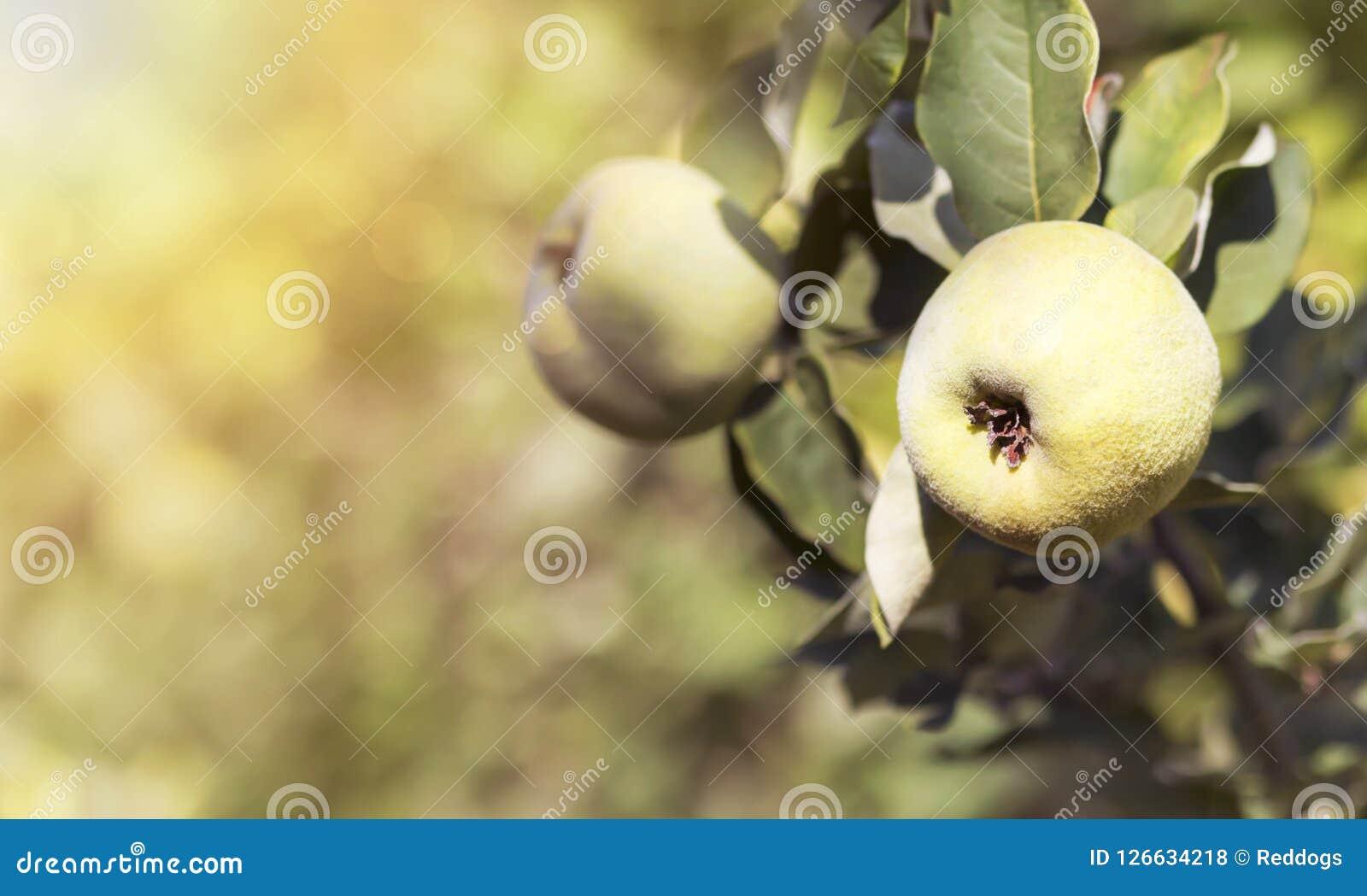 A maçã do marmelo frutifica no ramo de árvore no outono Fotos de Stock Royalty Free