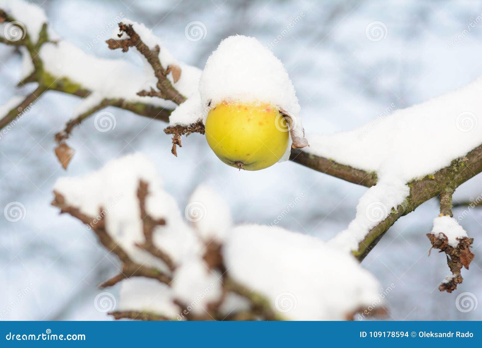 Maçã madura Calleville nevado no ramo de árvore na neve Jardim do fruto no inverno