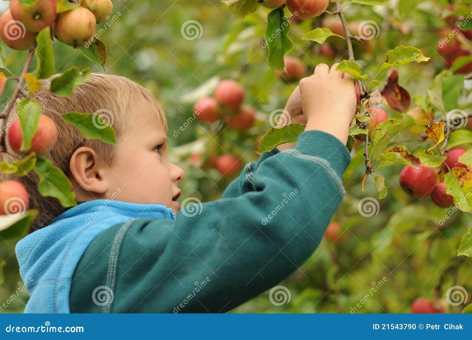 Maçãs da colheita da criança pequena
