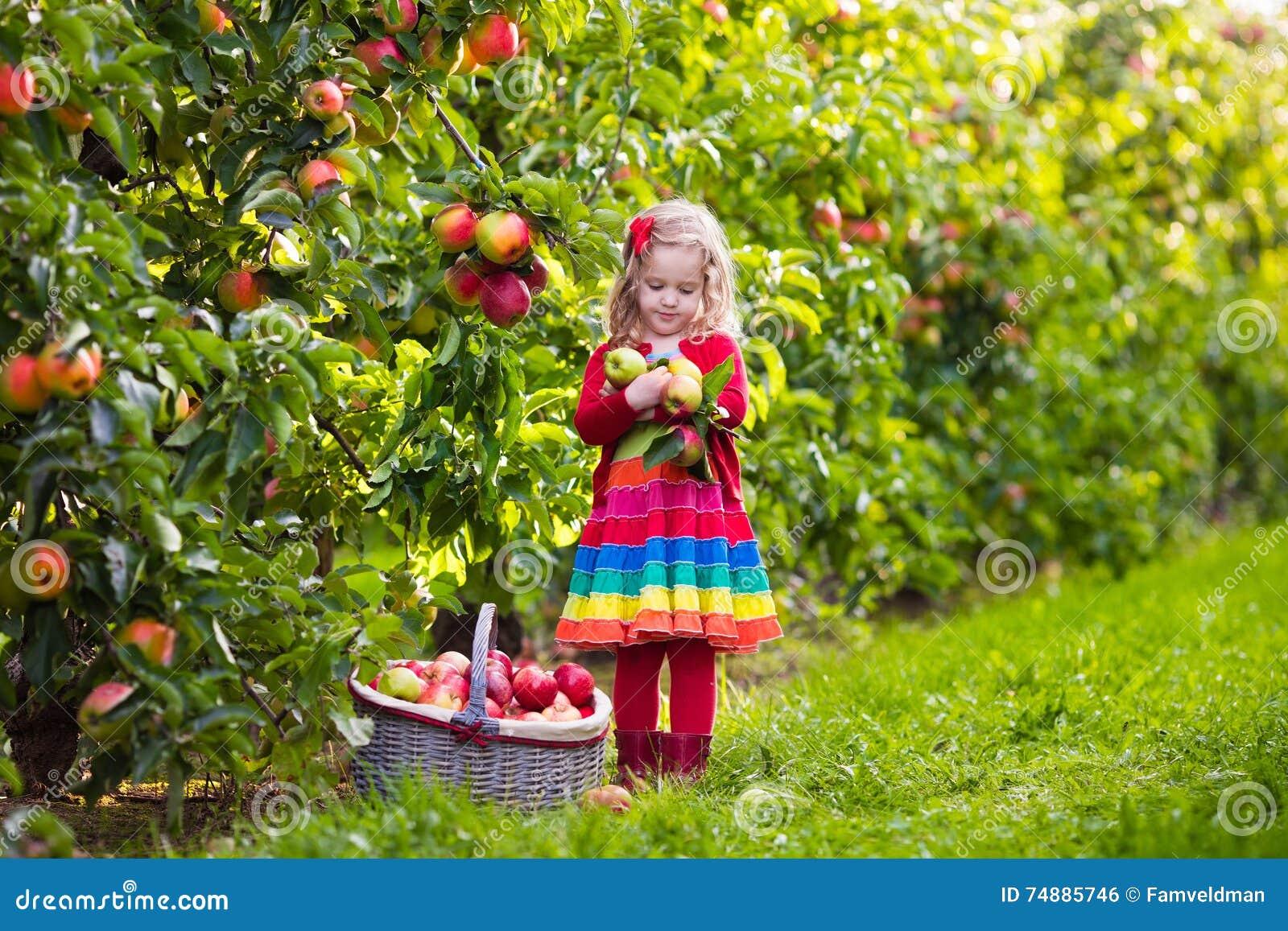 Maçãs da colheita da menina da árvore em um pomar de fruto