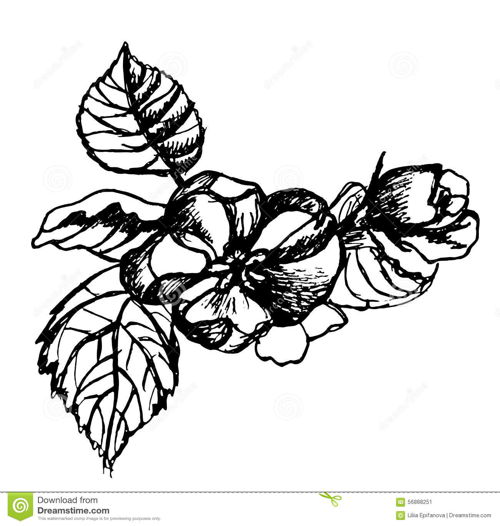 Maçãs da flor do esboço em uma ilustração do ramo