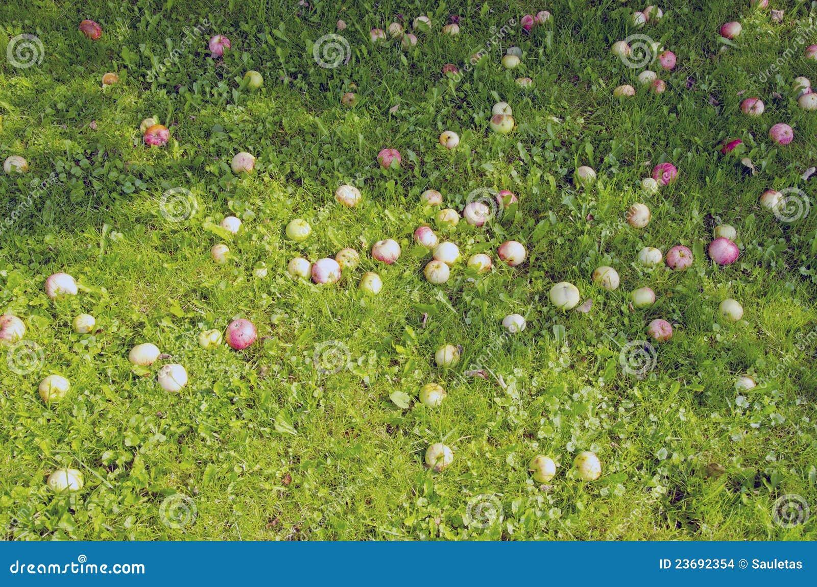 Maçãs maduras do fundo caídas na sombra à terra