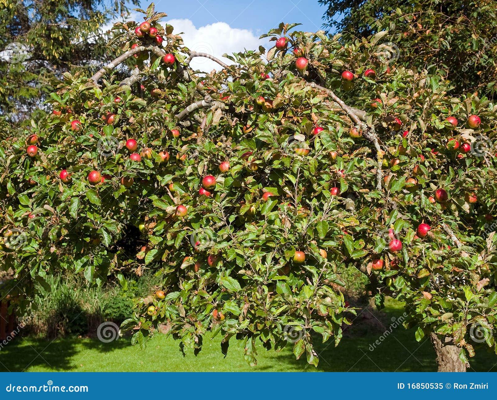 Maçãs maduras frescas em uma árvore