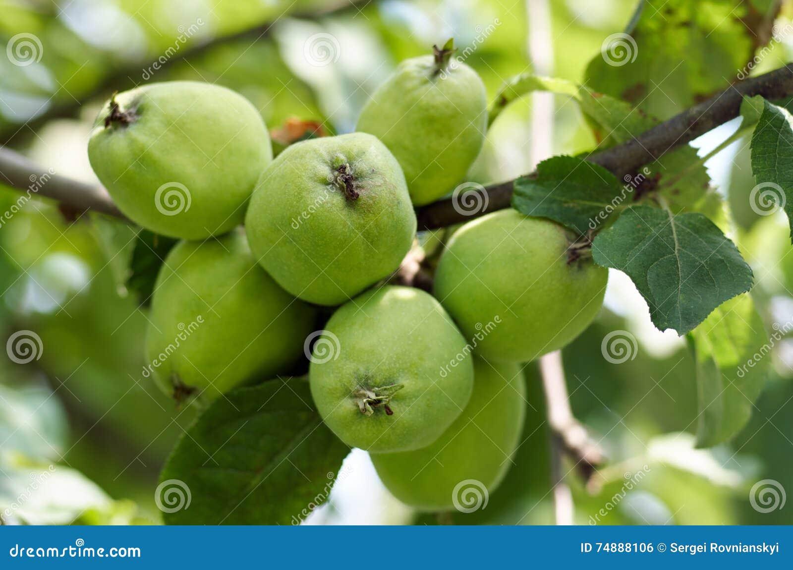 Maçãs que crescem na árvore no jardim Maçãs em um ramo