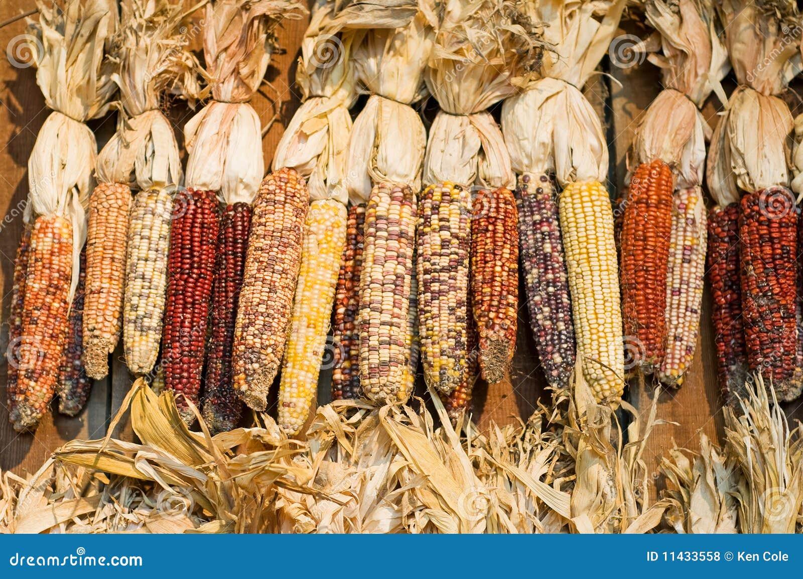 Maïs coloré par automne