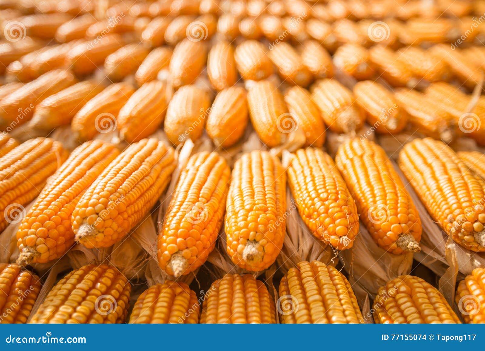 Maïs sec