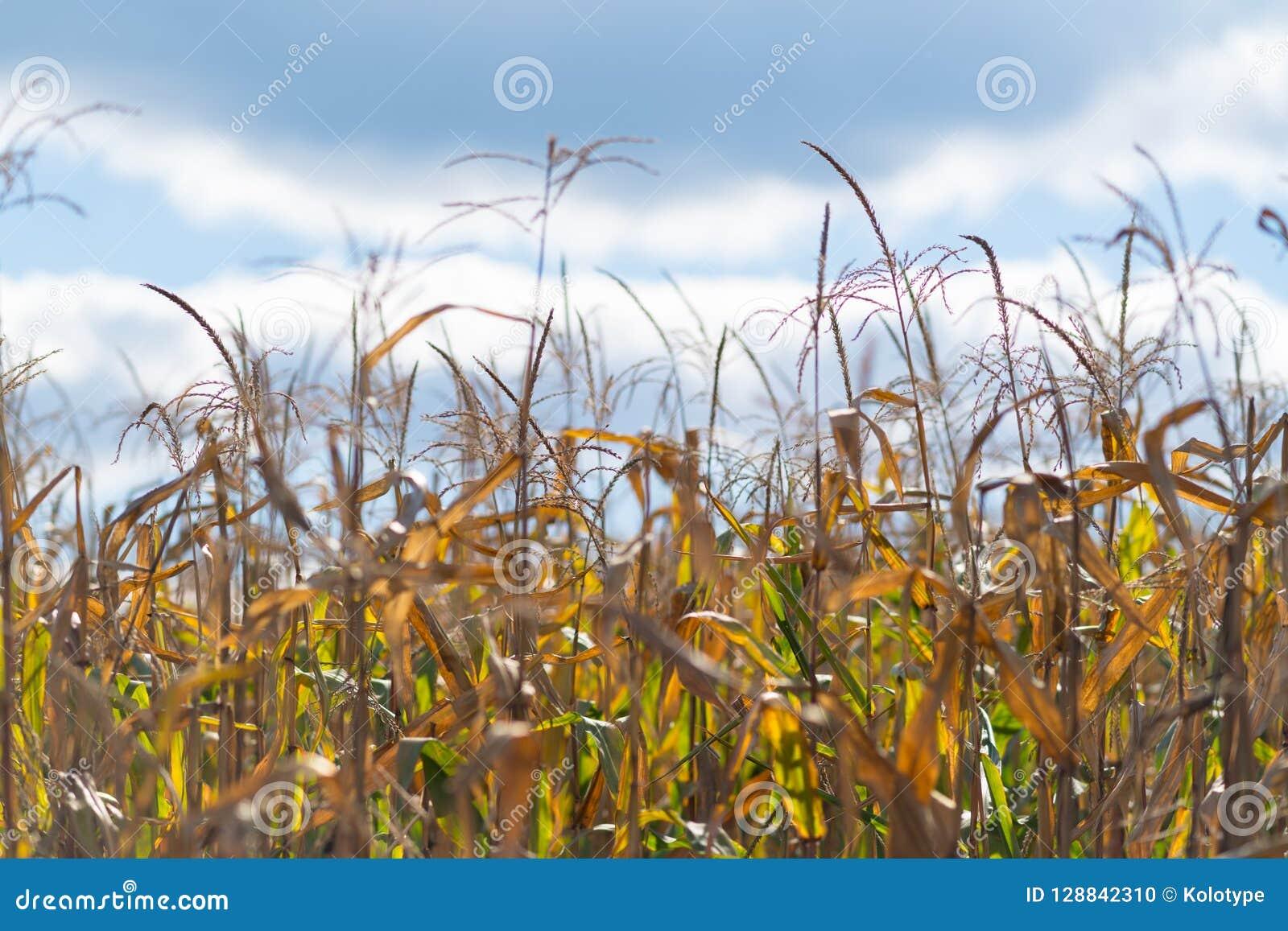 Maïskolven die op de installatie op een gebied drogen