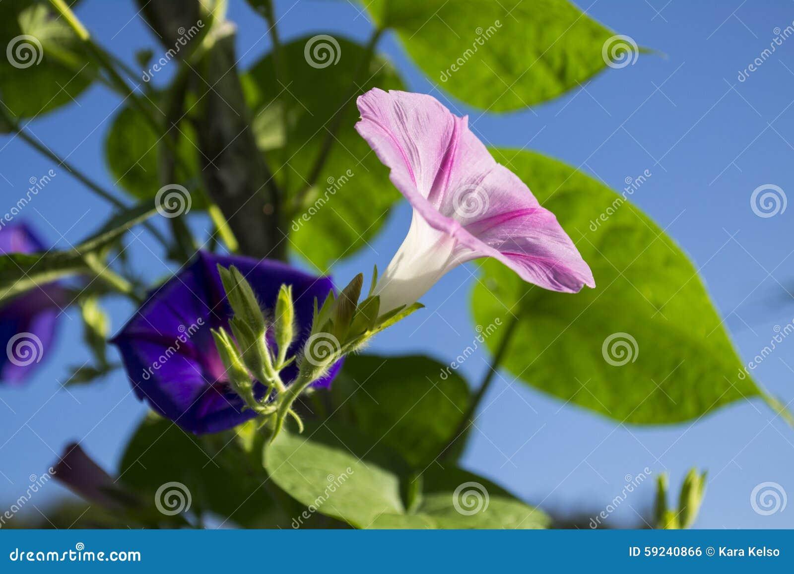 Download Mañana Rosada Y Púrpura Glory Flowers Foto de archivo - Imagen de verde, abierto: 59240866