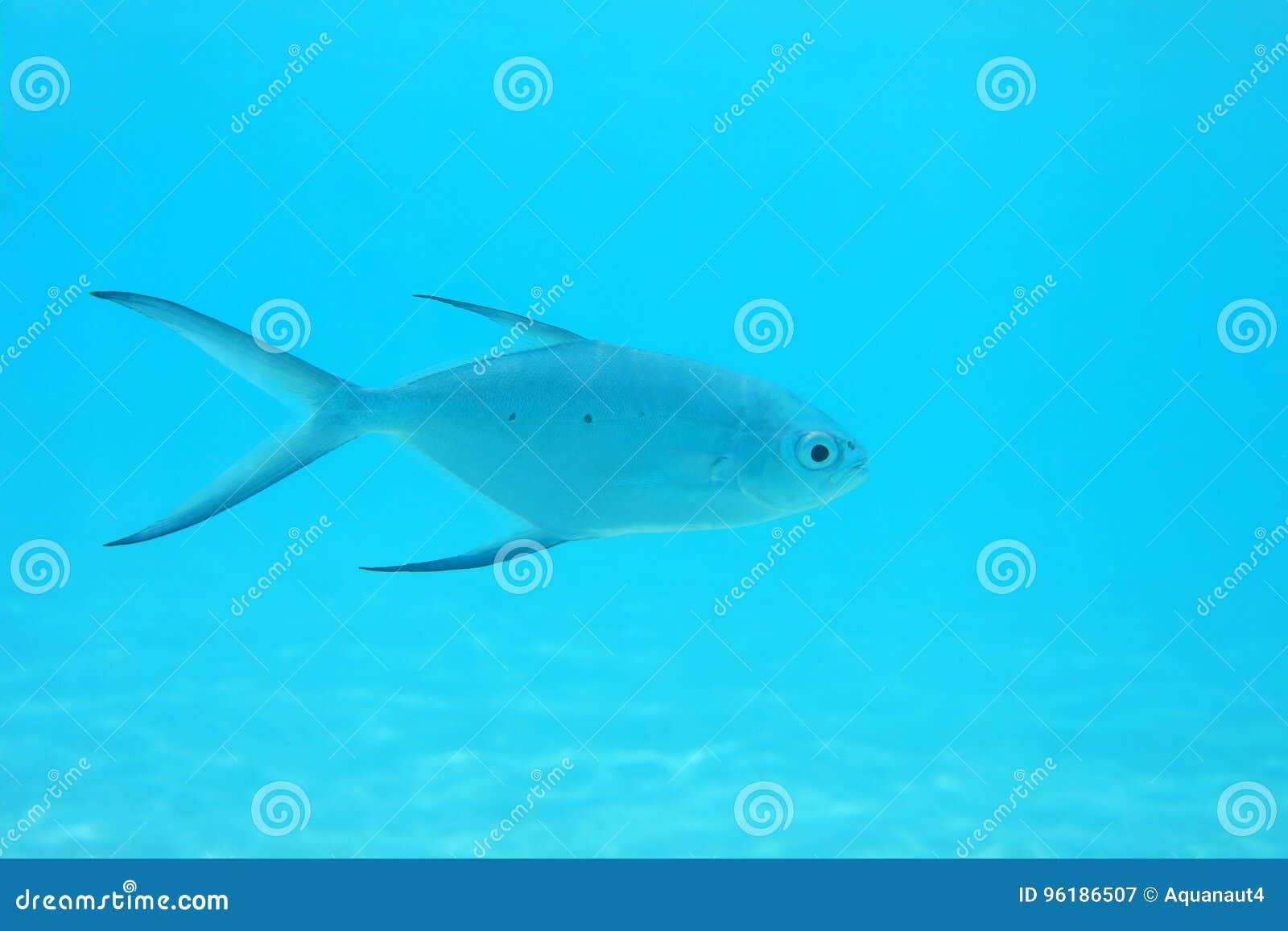 Mała łaciasta strzałki ryba