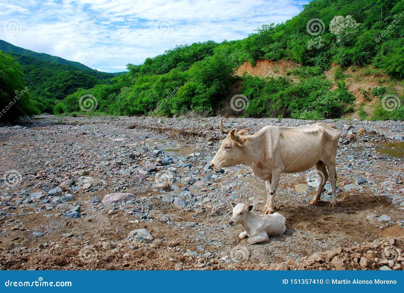 Mała dziecko krowa z jej matką