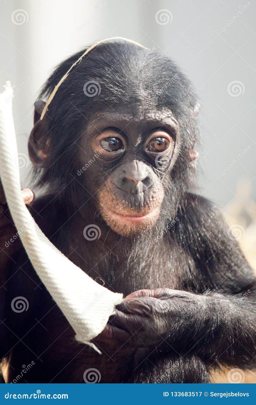 Mała dziecko szympansa małpa siedzi z smutną wyrażeniową patrzeje kamerą