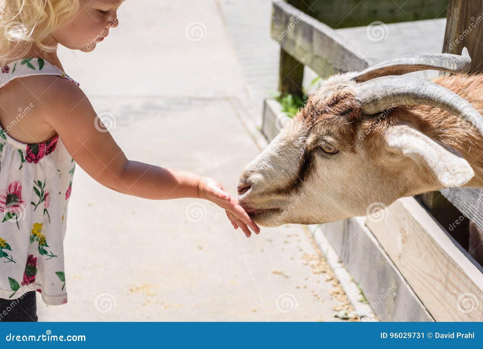 Mała dziewczynka karmi kózki przy migdali zoo