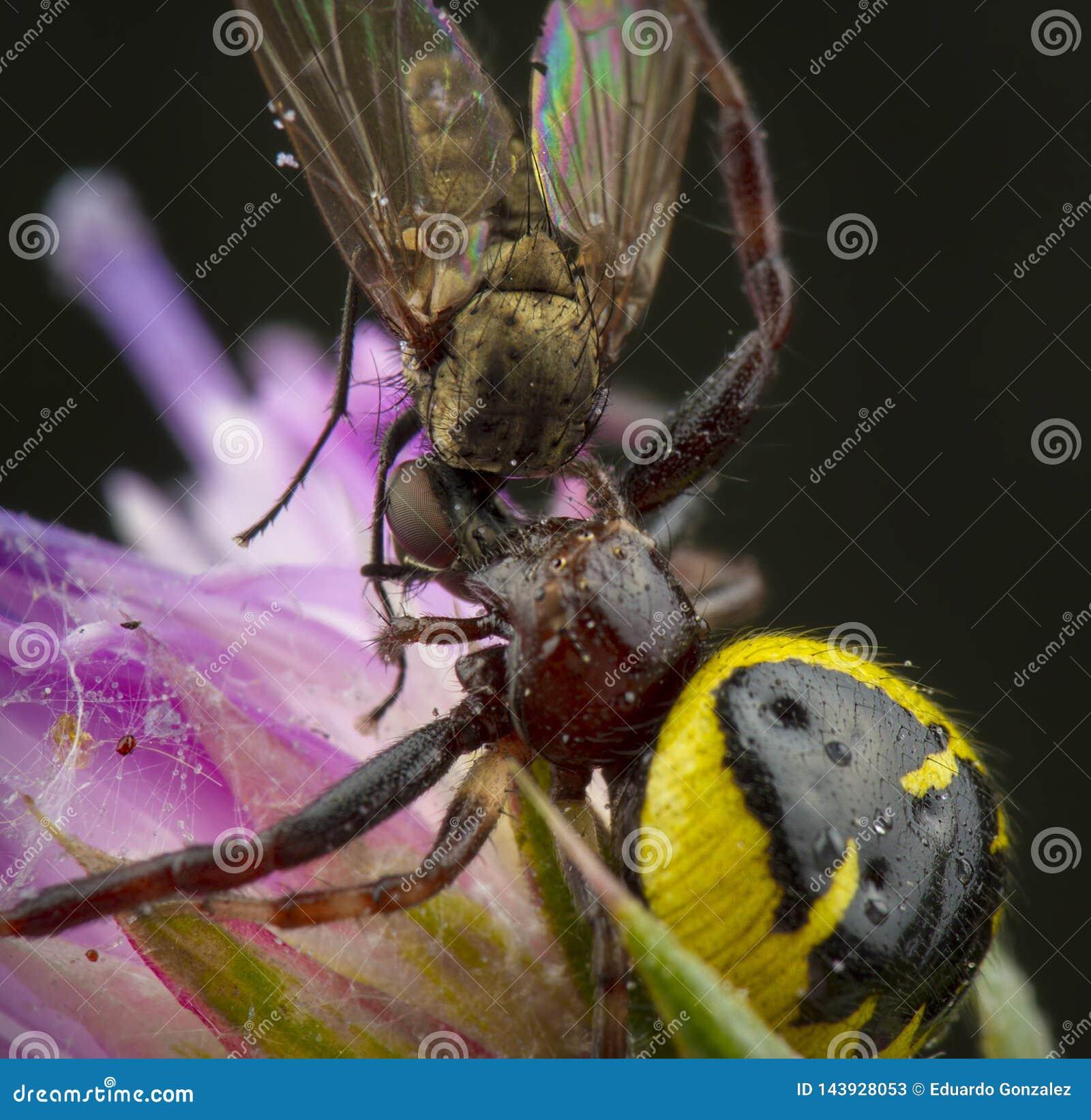 Mała miodowa pszczoła łapiąca pająkiem
