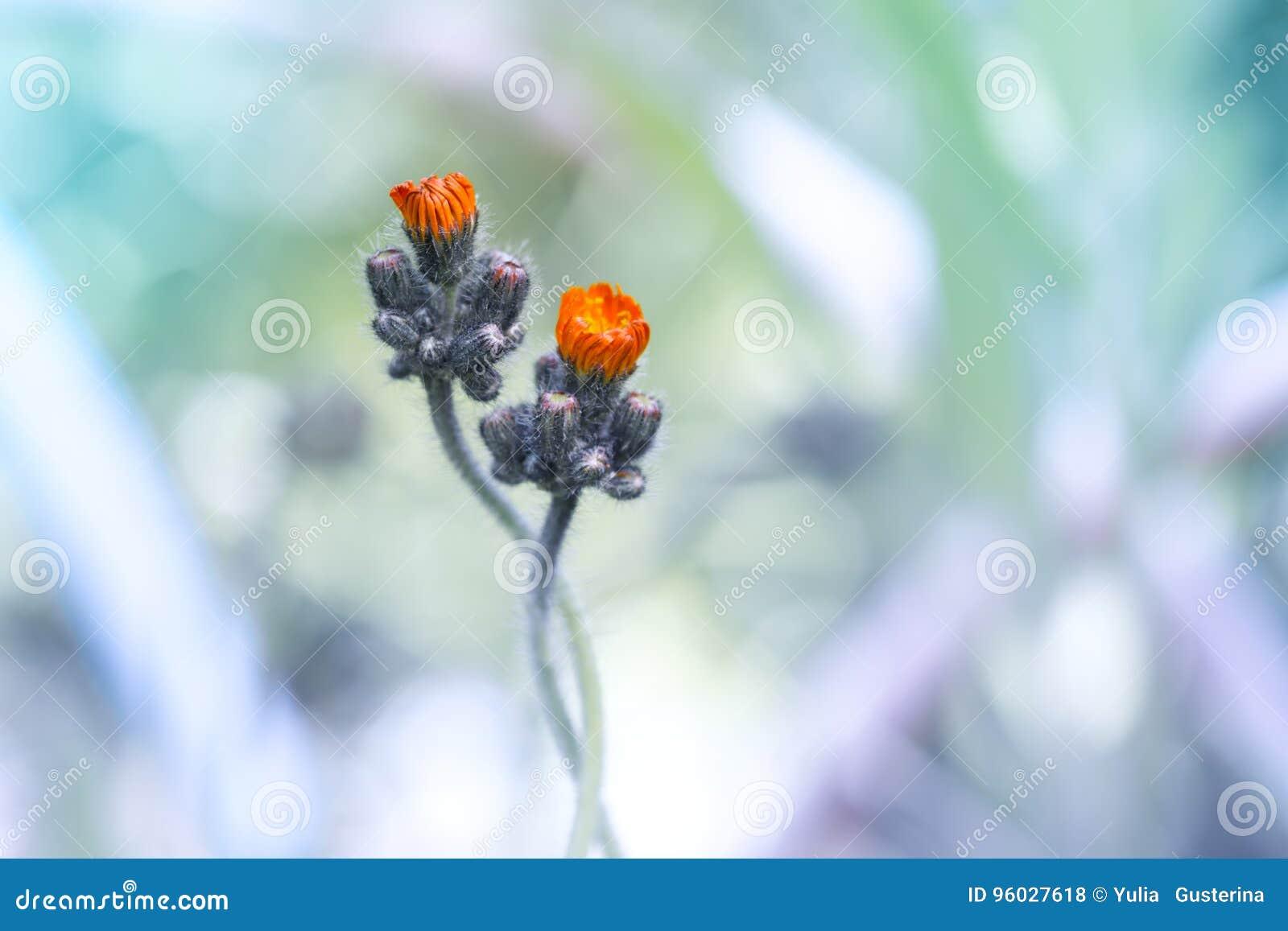 Mała pomarańcze kwitnie na delikatnym tle Kwiaty są delikatnie opleceni Piękny artystyczny wizerunek