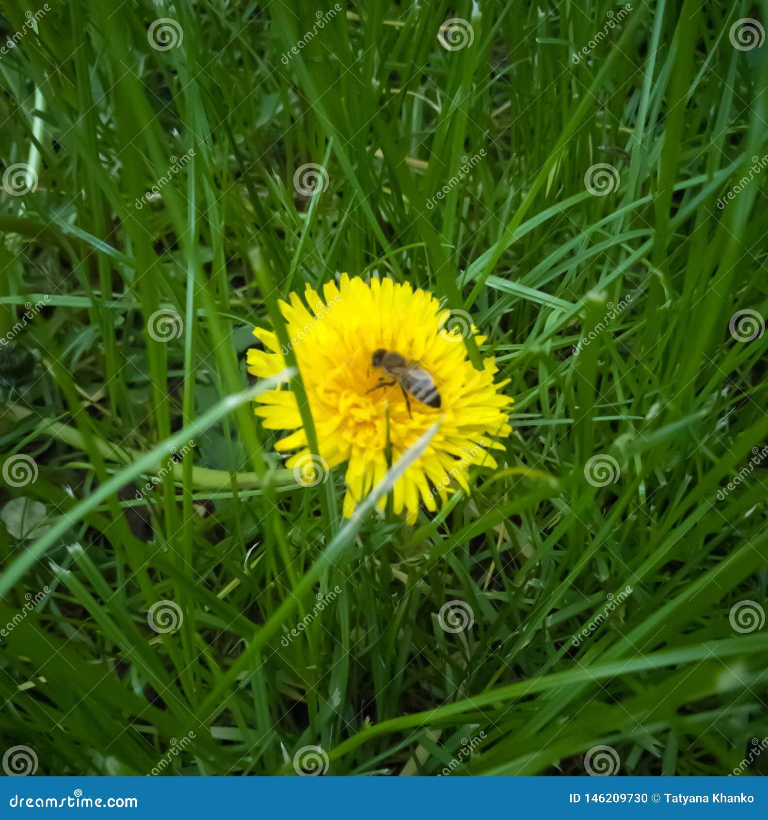 Mała pszczoła na dandelion