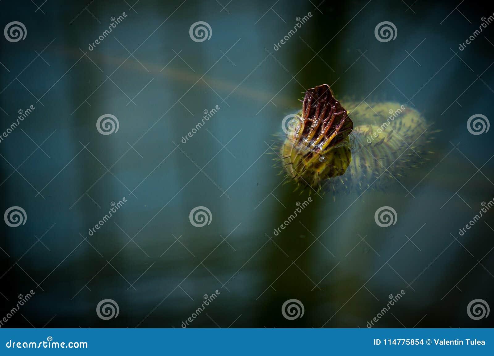 Mała wodna leluja