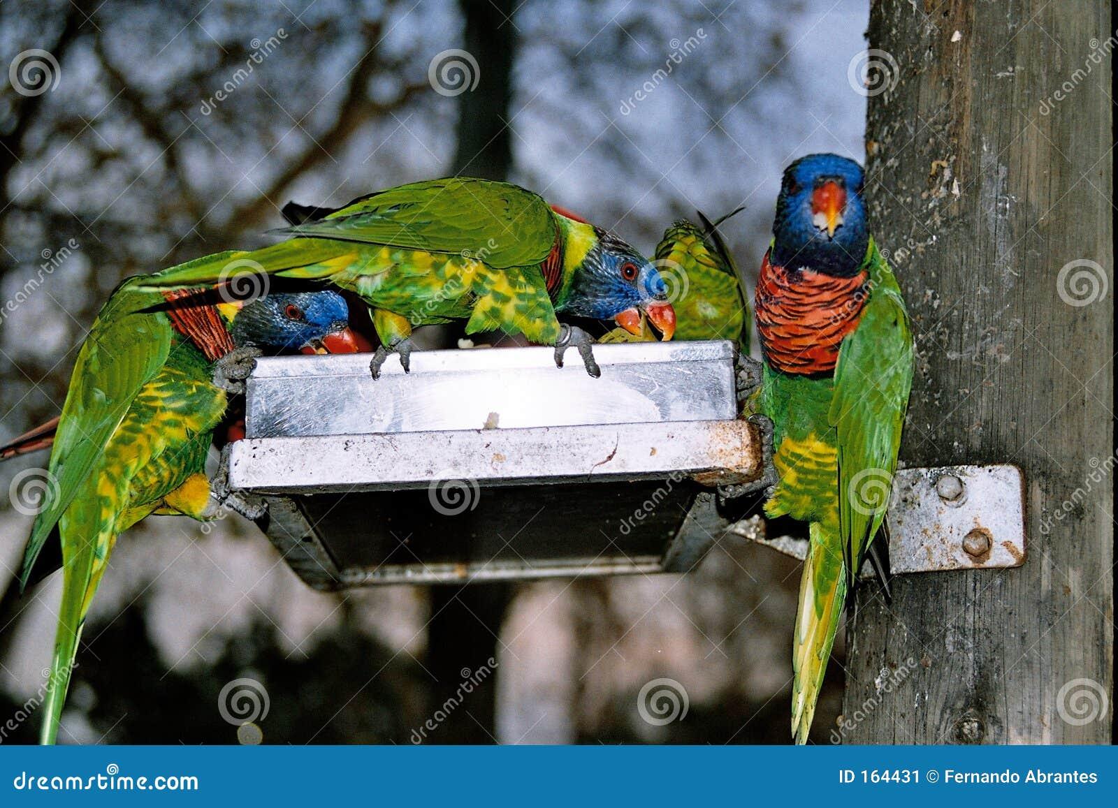 Małe zielone, papugi