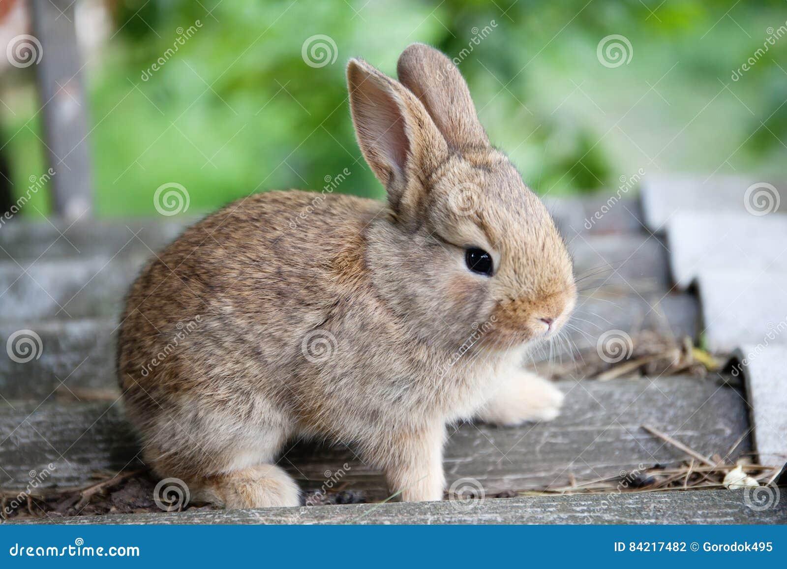 Małego ślicznego królika śmieszna twarz, puszysty brown królik na szarość dryluje tło Miękka ostrość, Płytka głębia pole
