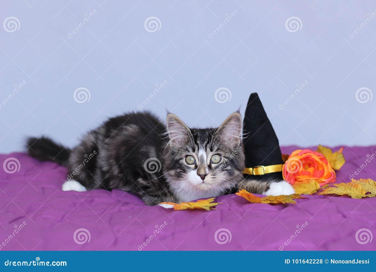 Małego figlarki Maine coon łgarski puszek obok czarownica kapeluszu i pomarańczowy kwiat dla Halloween bawimy się