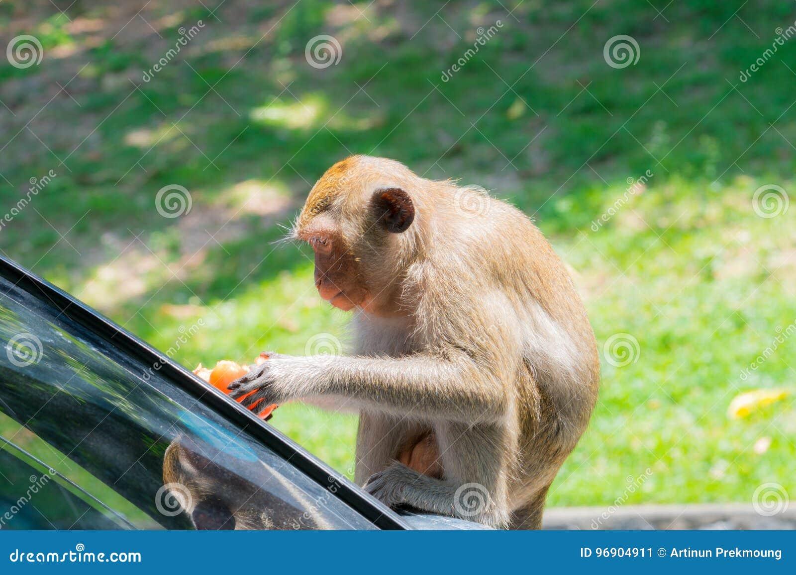 Małpa je pomidory
