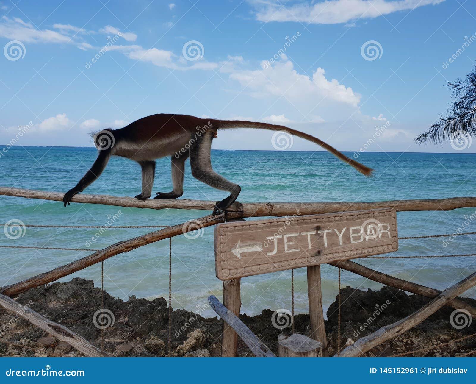 Małpa przy barem