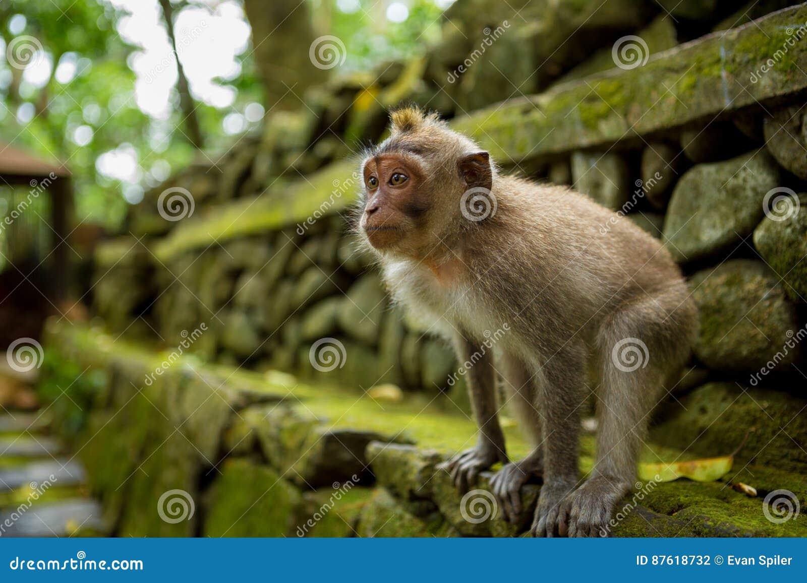 Małpa w Ubud Bali