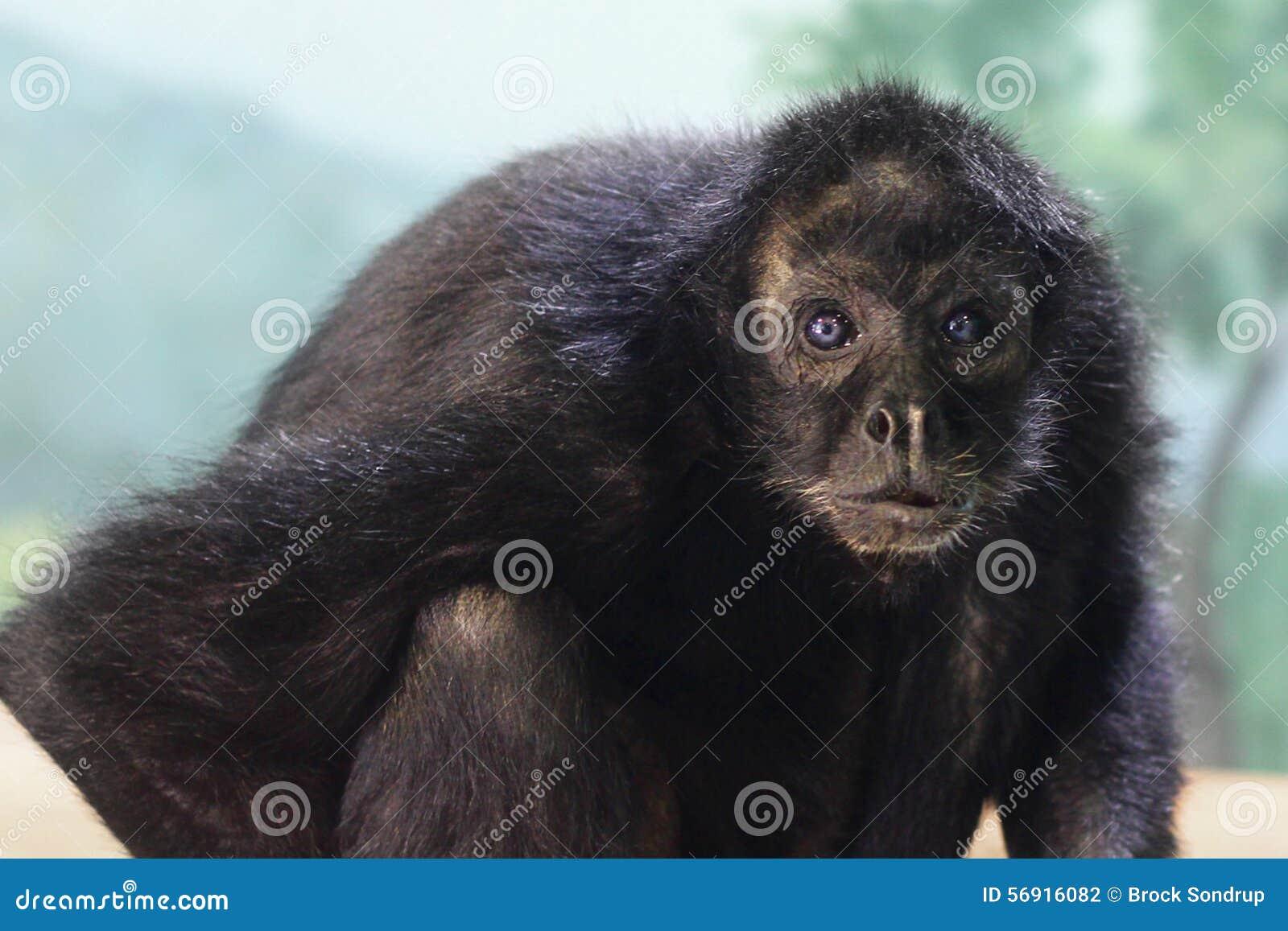 Małpa z niebieskimi oczami