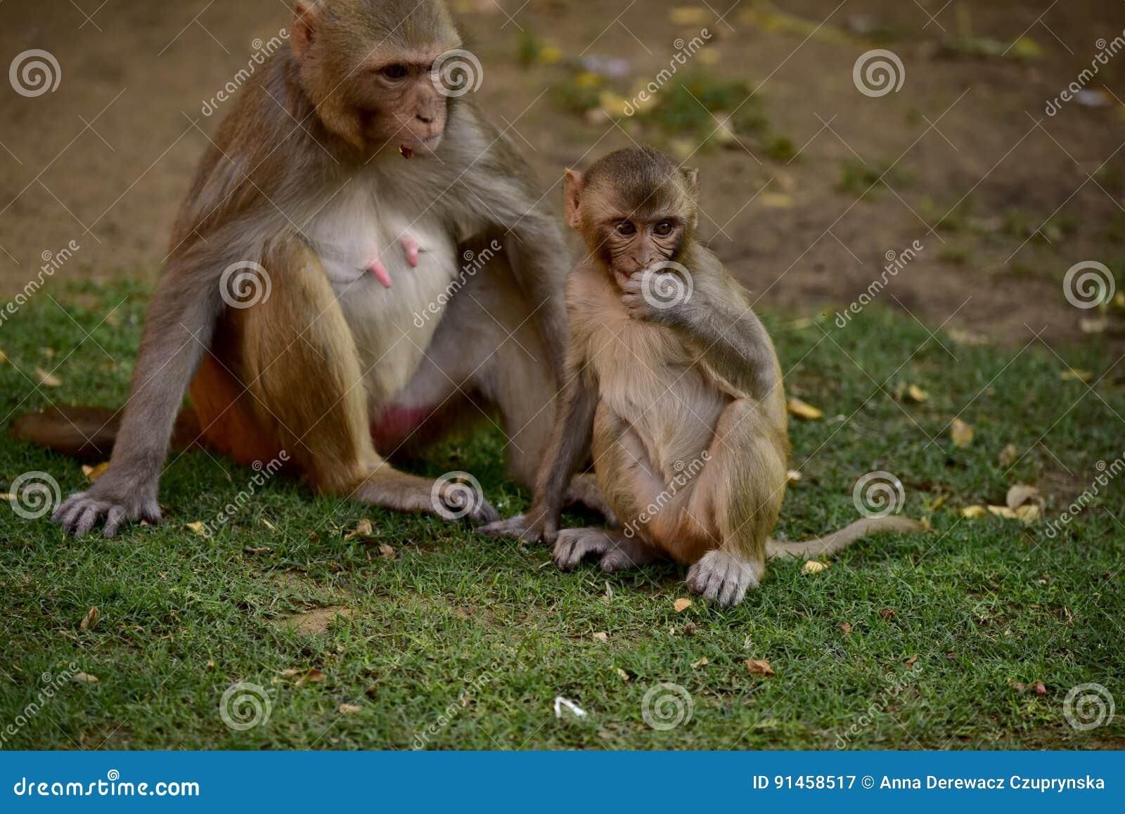 Małpi Makak Rezus