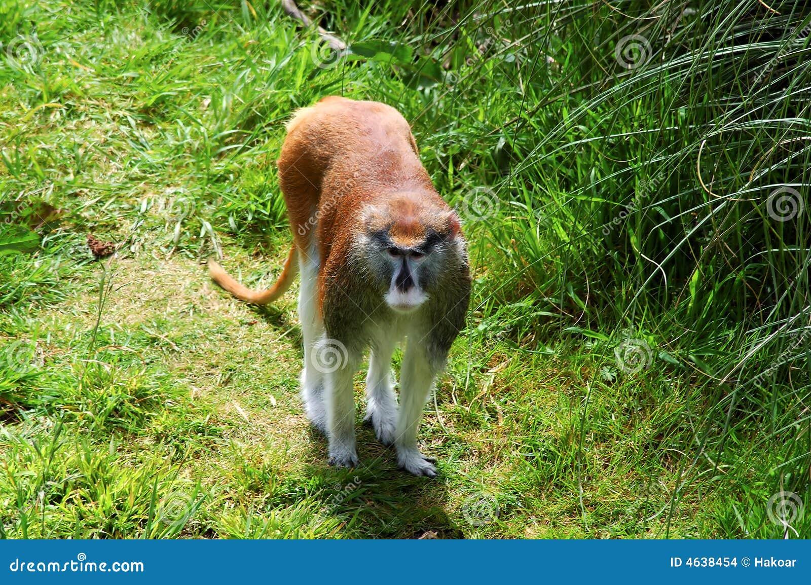 Małpi patas portret