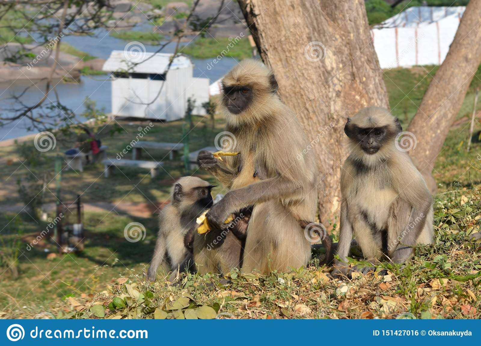 Małpia rodzina siedzi na wzgórzu i je banany