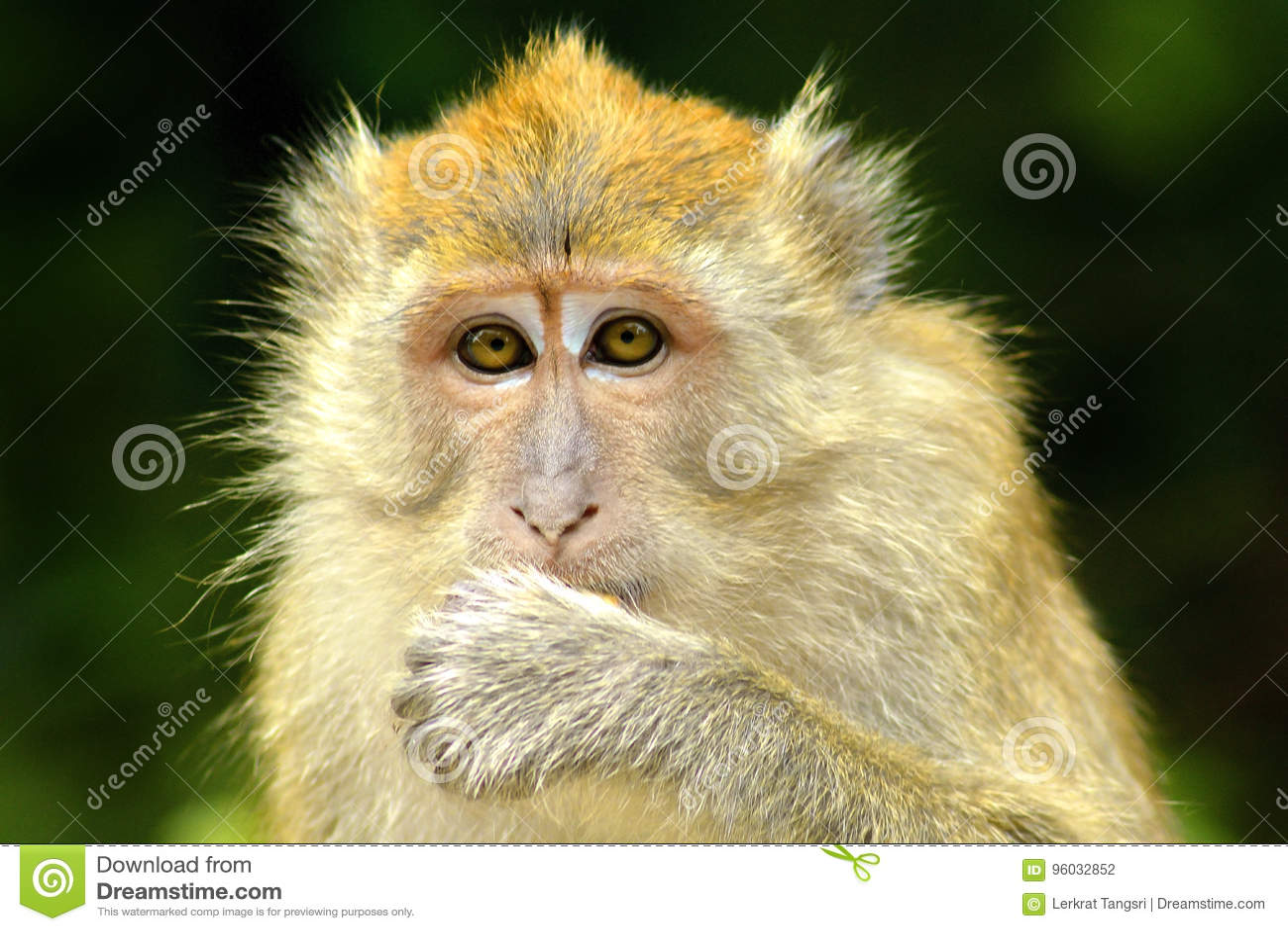 Małpia twarz 3