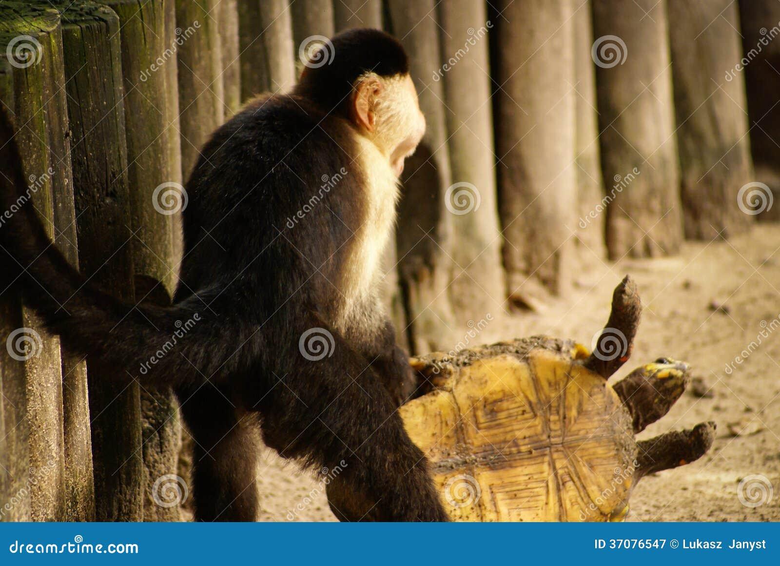 Download Małpie Sztuki Z żółwiem Na Wyspie Mucura Kolumbia Obraz Stock - Obraz złożonej z małpa, prymas: 37076547