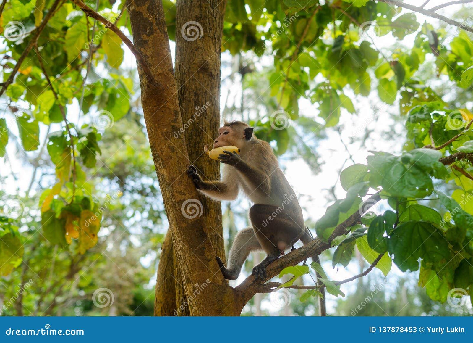 Małpuje na wyspie Sri Lanka w dzikim