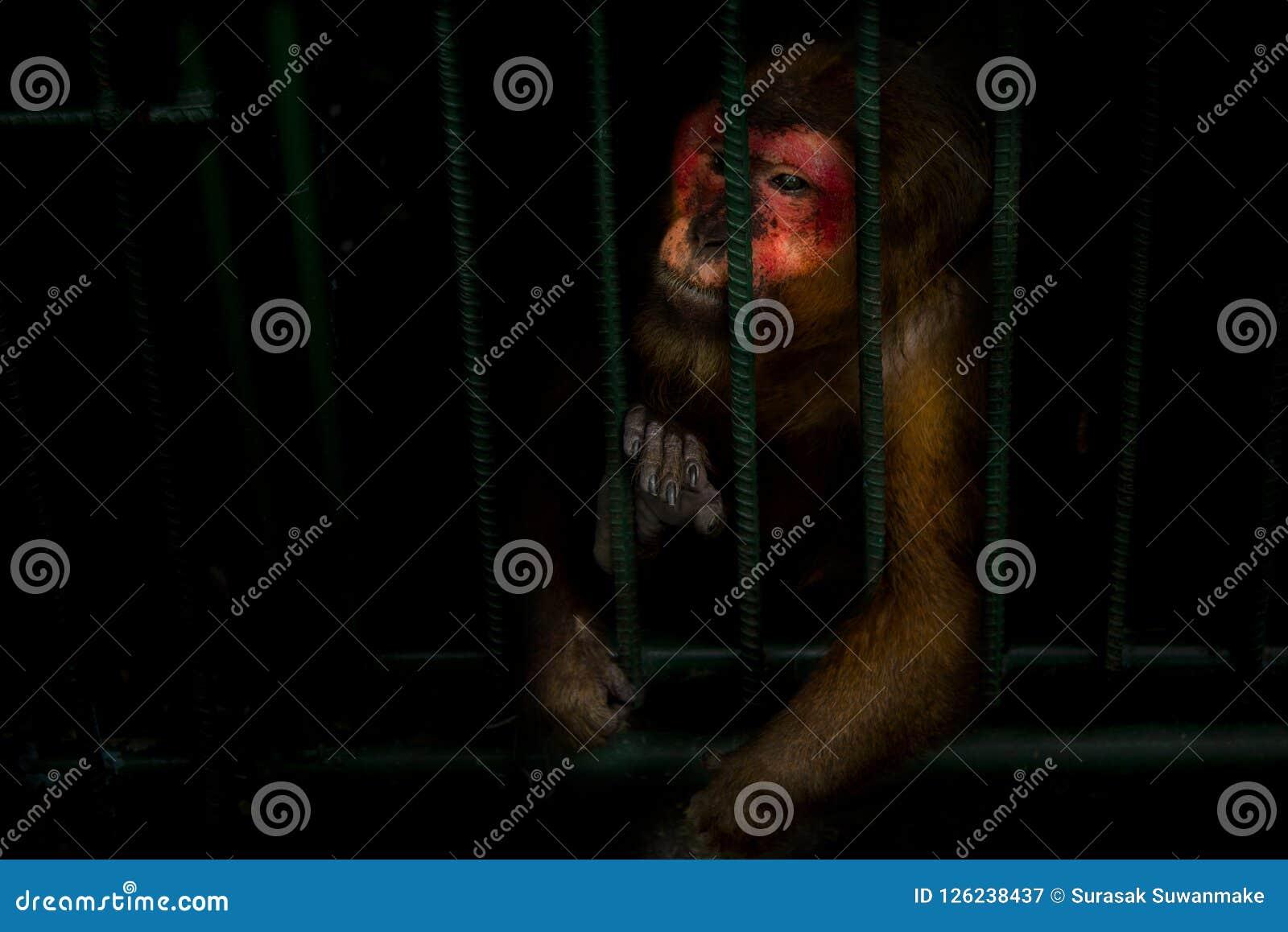 Małpy łapać w pułapkę w stalowej klatce i eksponują okrucieństwo ludzkość