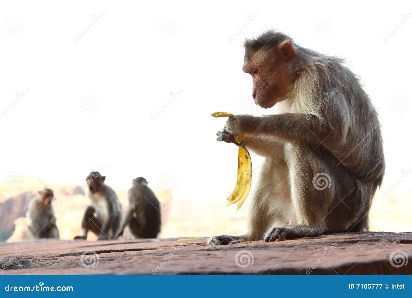Małpy kołysają obsiadanie