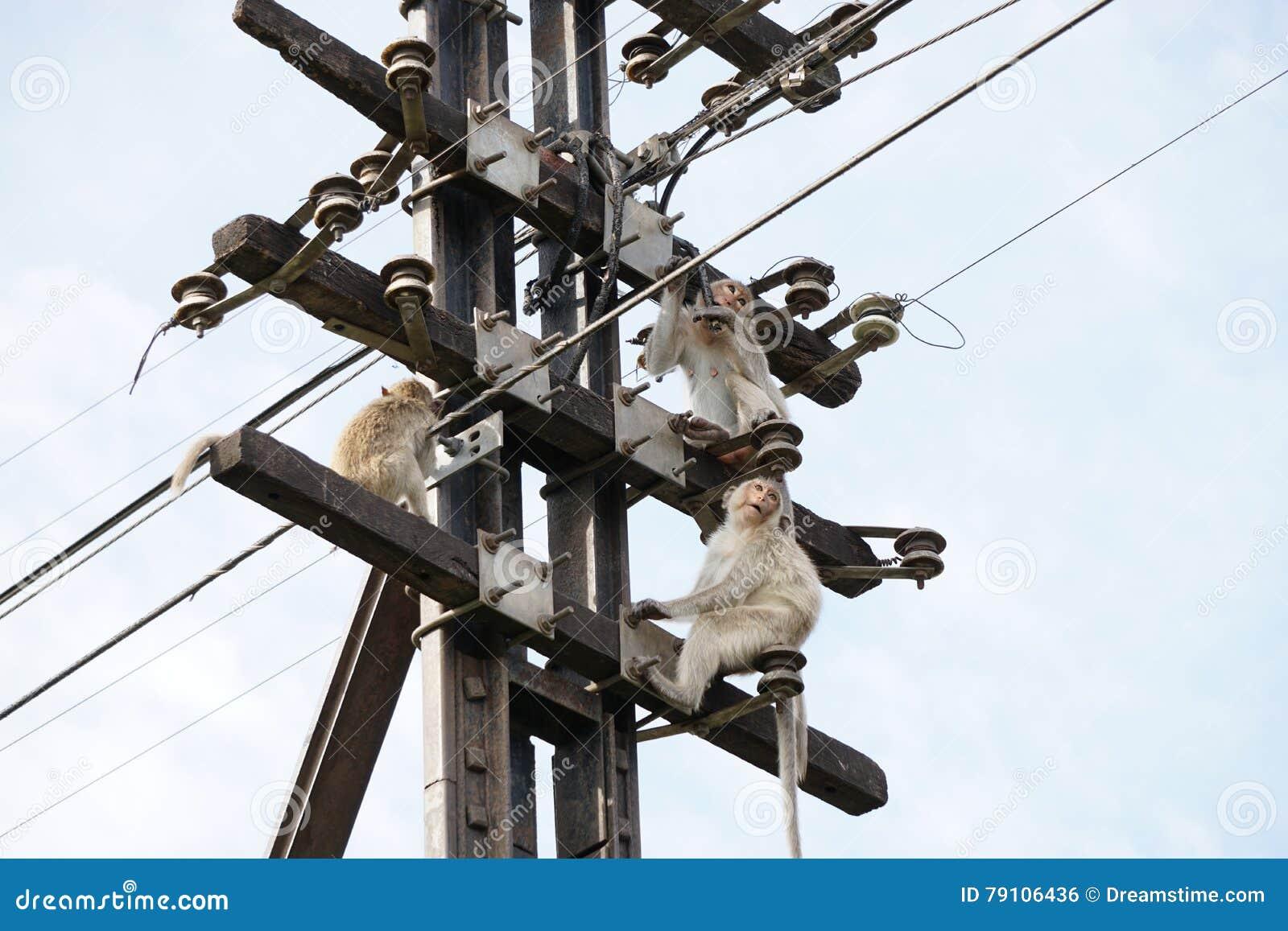 Małpy na Telefonicznym słupie