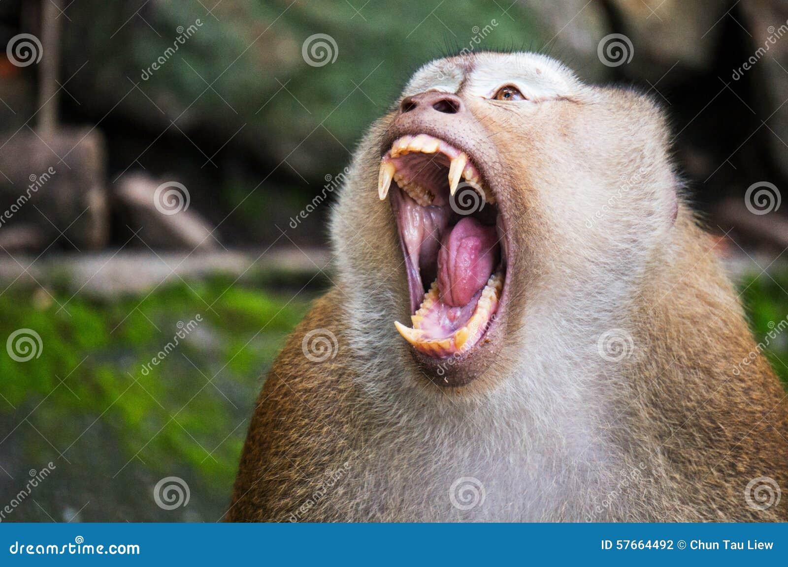 Małpy otwarta góra dla walki