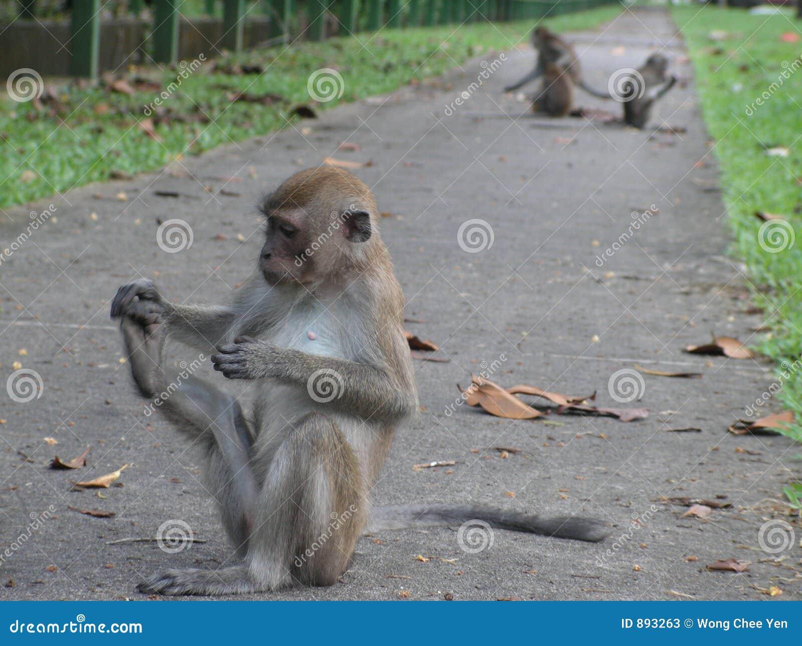 Małpy się głupcze