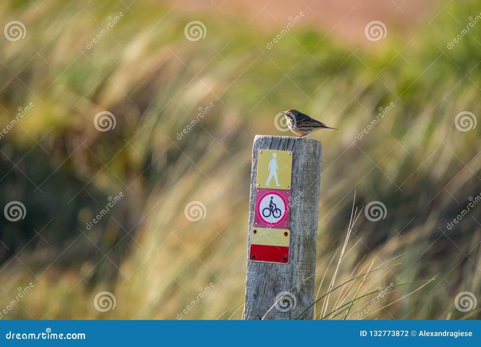 Mały łąkowego pipit obsiadanie na drewnianym stosie z ikonami na kolorowym rozmytym tle - Texel holandie