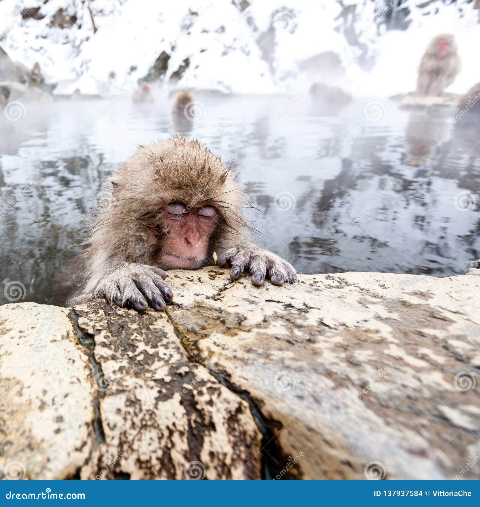 Mały śliczny japoński śnieg małpy dosypianie w gorącej wiośnie Yudanaka, Japonia