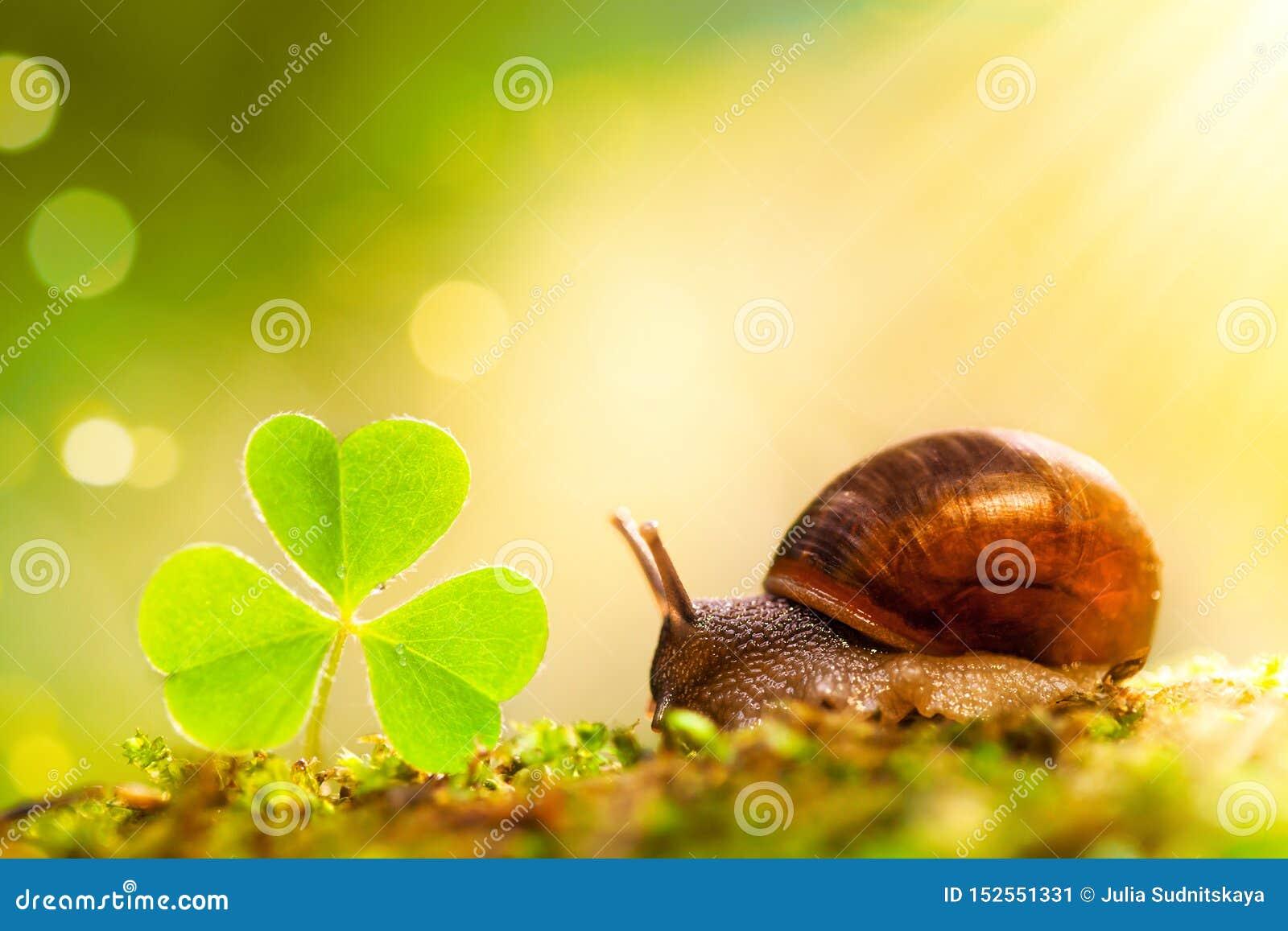 Mały ślimaczka i zieleni shamrock liść w słońce promieniu na lasowym tle Piękny makro- natura krajobraz