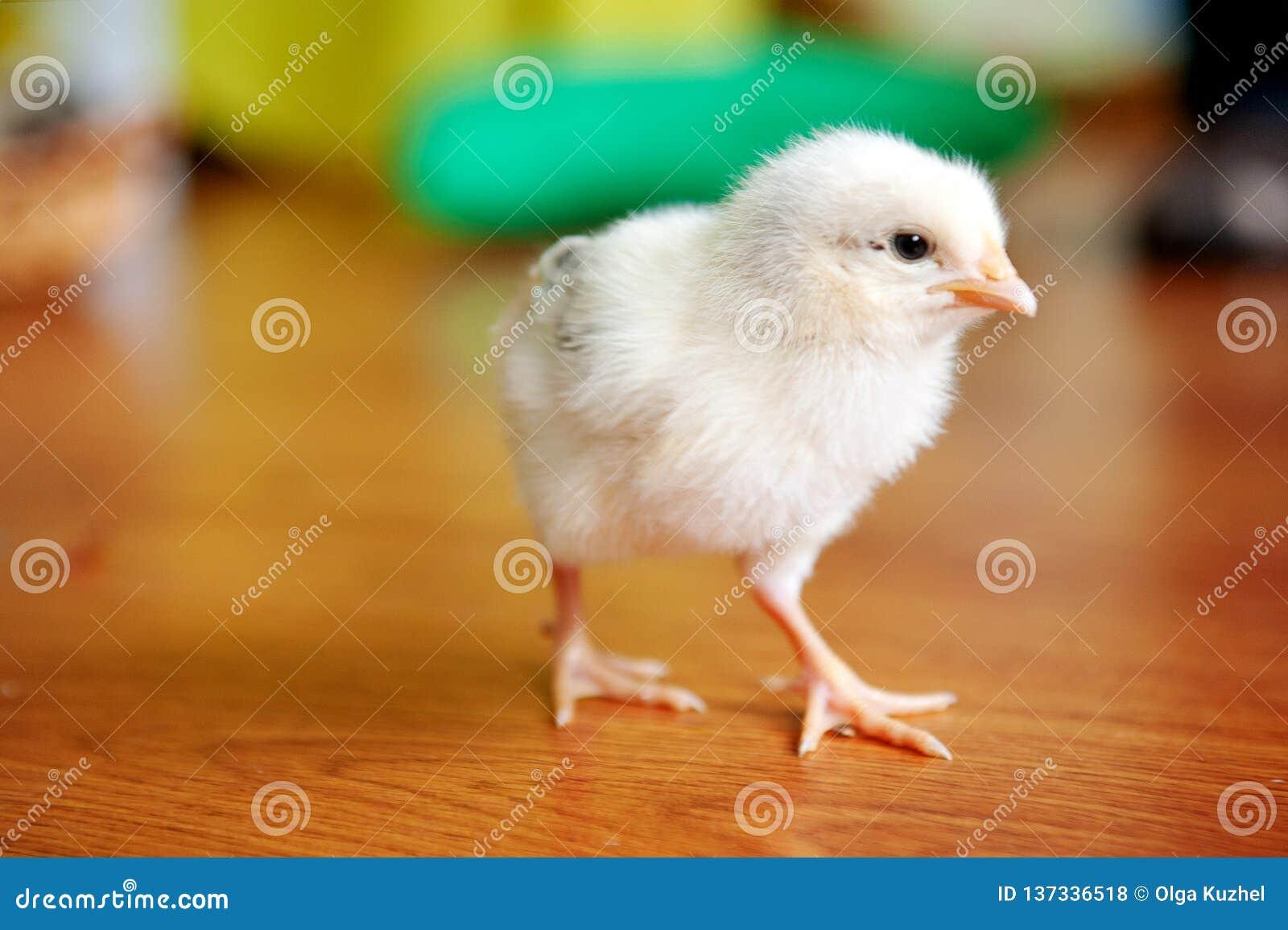 Mały żółty kurczak na drewnianej podłodze, Oba kurczątka, Nowonarodzonej kurczak