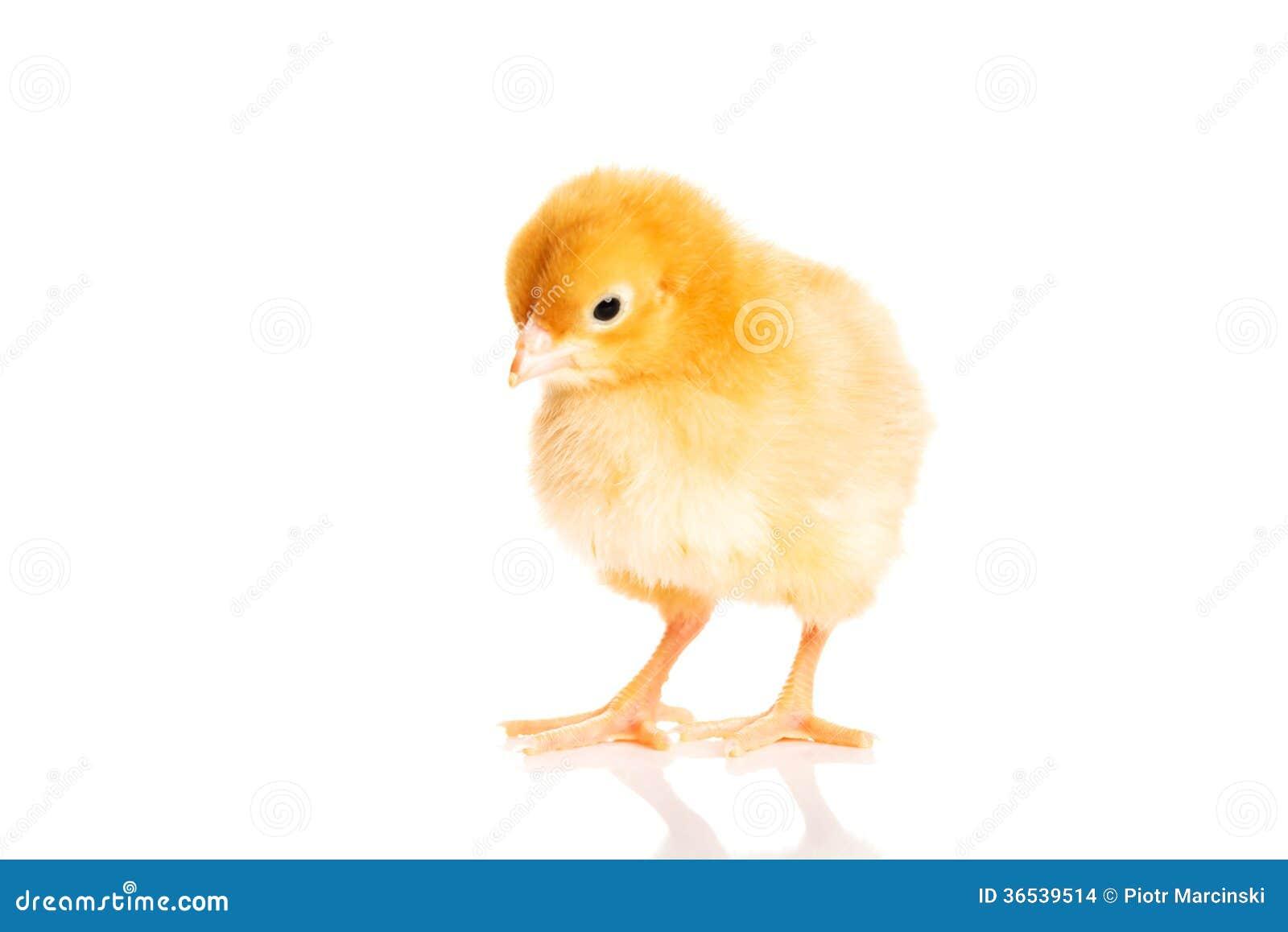 Mały żółty Wielkanocny kurczątko.