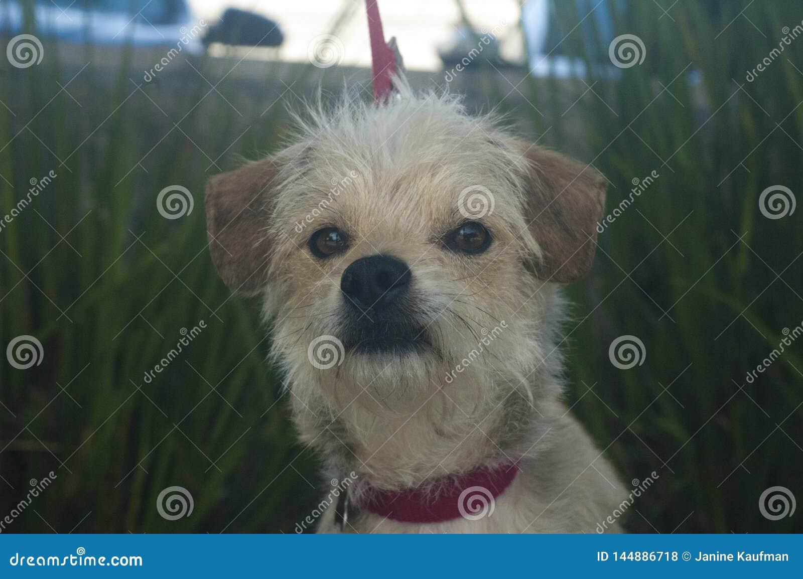 Mały Biały i dębny terier mieszał trakenu psa