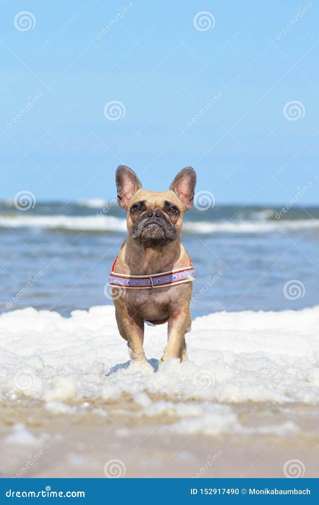 Mały brązu Francuskiego buldoga pies z morską nicielnicy pozycją w morze pianie przy plażą