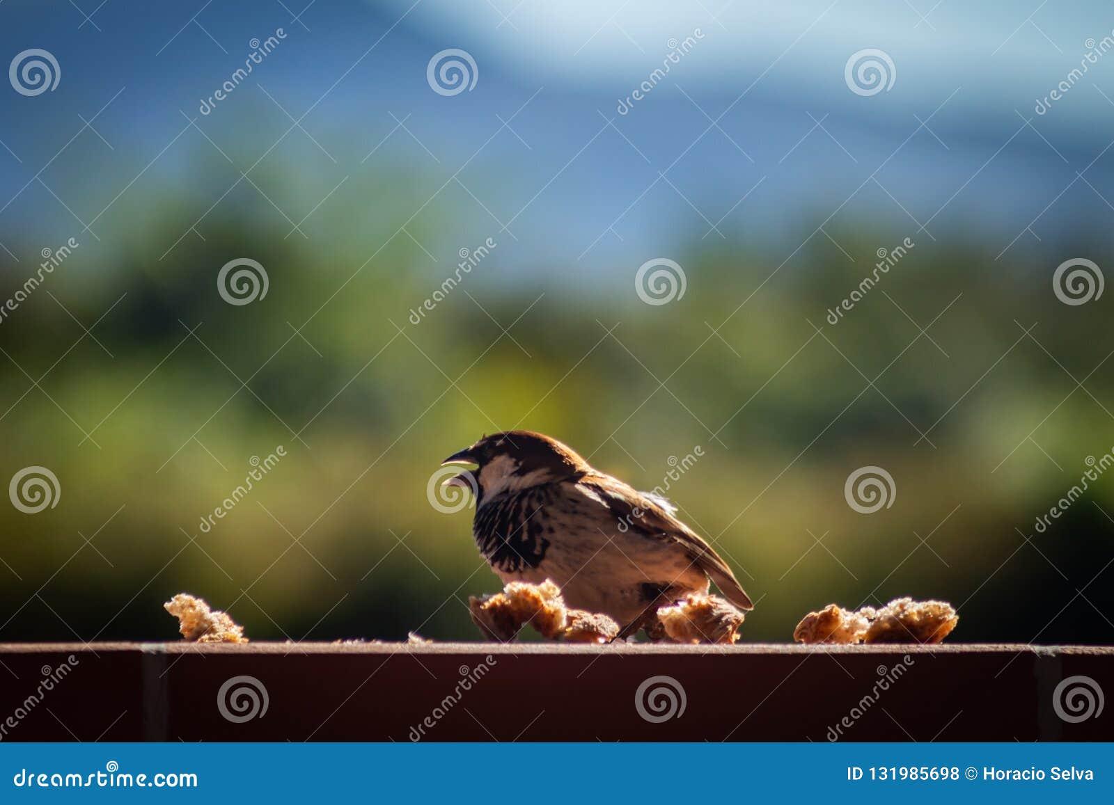 Mały brązu ptak na ścianie Ptasi łasowanie chleb