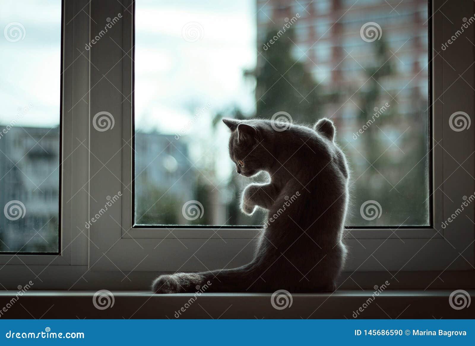 Mały Brytyjski figlarki obsiadanie przy okno na tle wieczór miasto Frontowi noga odpoczynki przeciw szkłu